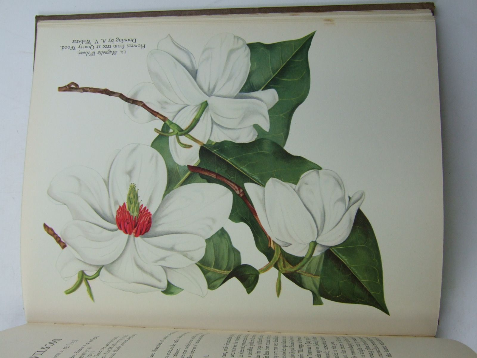 Photo of ASIATIC MAGNOLIAS IN CULTIVATION written by Johnstone, G.H. published by Royal Horticultural society (STOCK CODE: 2109309)  for sale by Stella & Rose's Books