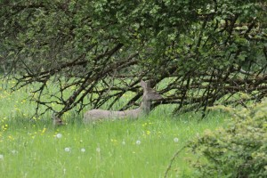 Doe and fawn opposite the shop