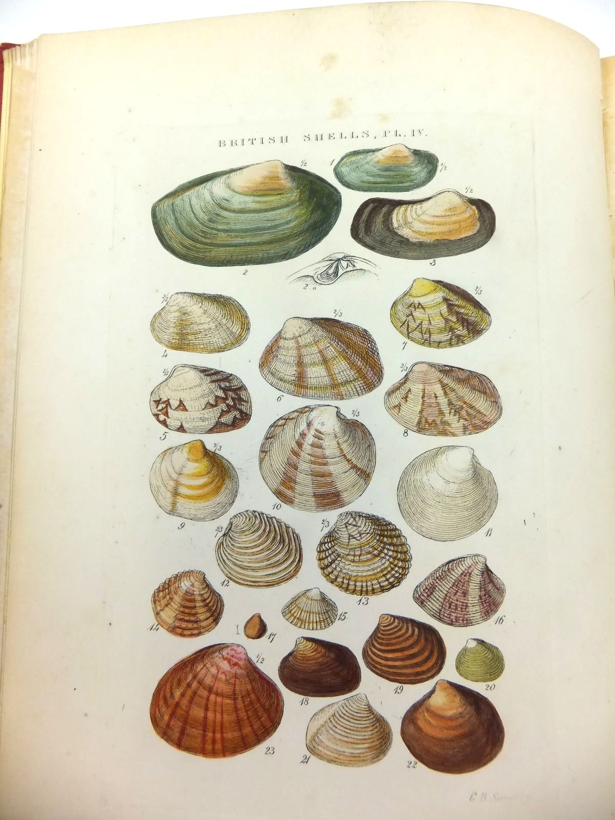 Photo of ILLUSTRATED INDEX OF BRITISH SHELLS written by Sowerby, G.B. illustrated by Sowerby, G.B. published by Simpkin, Marshall & Co. (STOCK CODE: 1208607)  for sale by Stella & Rose's Books