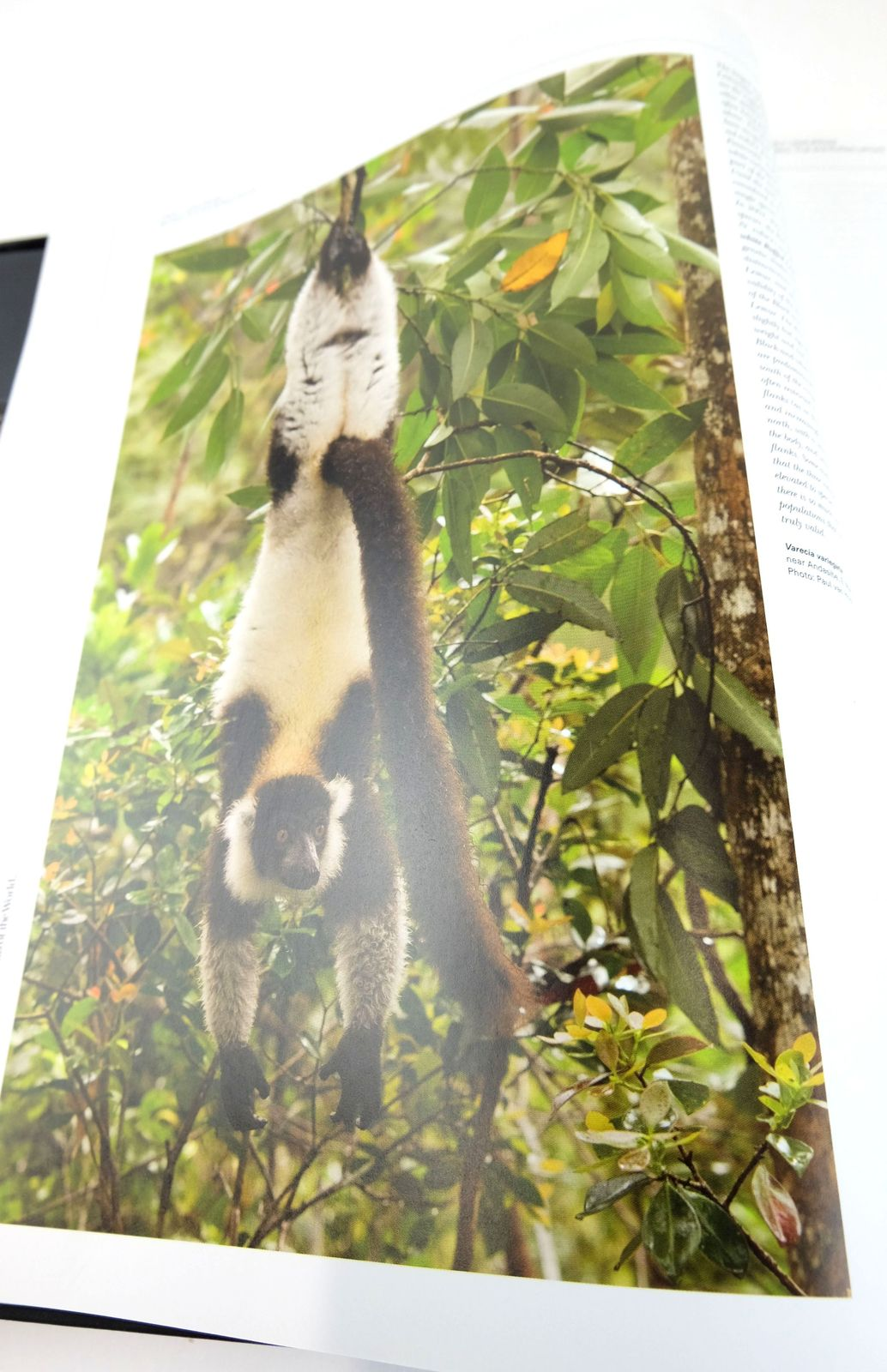 Photo of HANDBOOK OF THE MAMMALS OF THE WORLD 3. PRIMATES written by Mittermeier, Russell A. Rylands, Anthony B. Wilson, Don E. et al, published by Lynx Edicions (STOCK CODE: 1820160)  for sale by Stella & Rose's Books